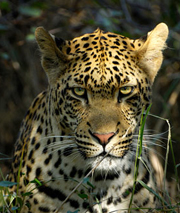 Images from Woza Nawe Cultural Tours - Kruger leopard